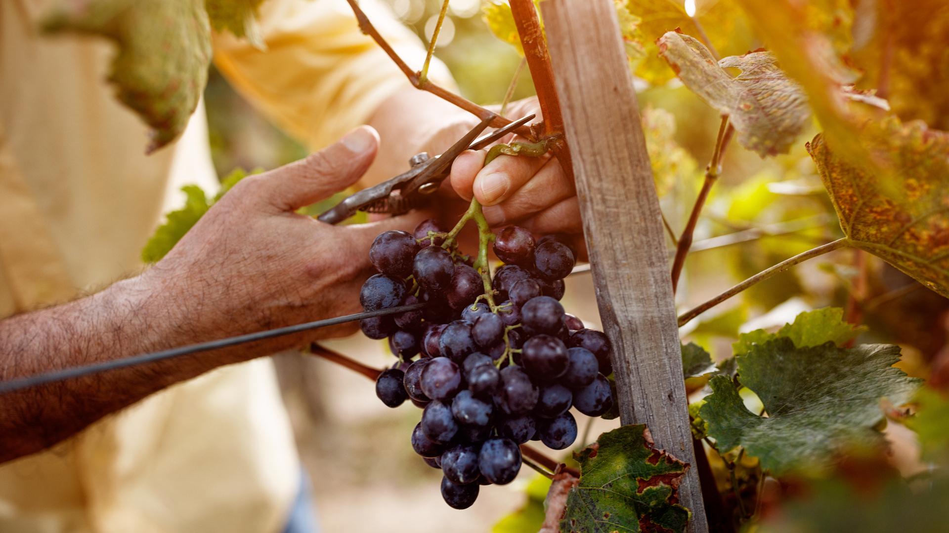 grape de raisin français