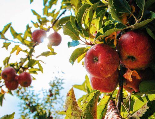 La Ferme de Billy : Histoire(s) de pommes à cidre bien normandes